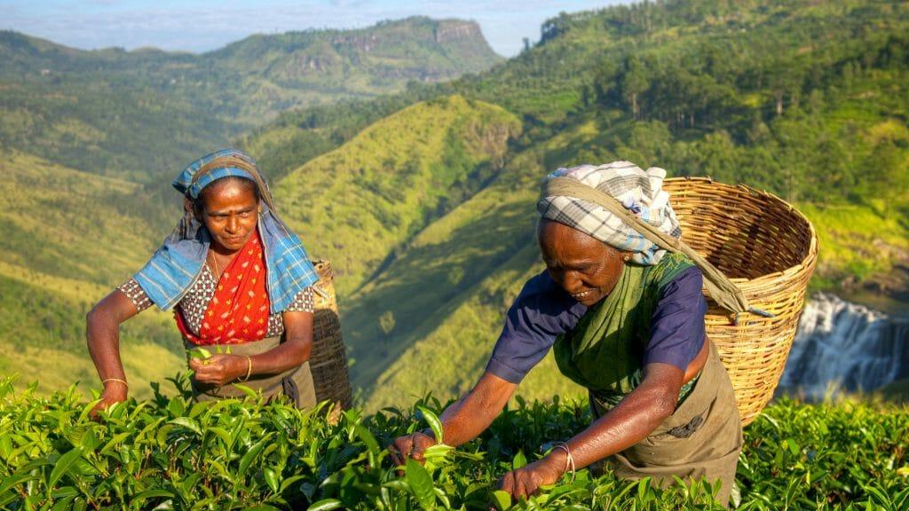 Tea Pickers, Sri Lanka