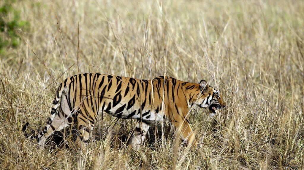 Tiger, Tadoba, India, JK
