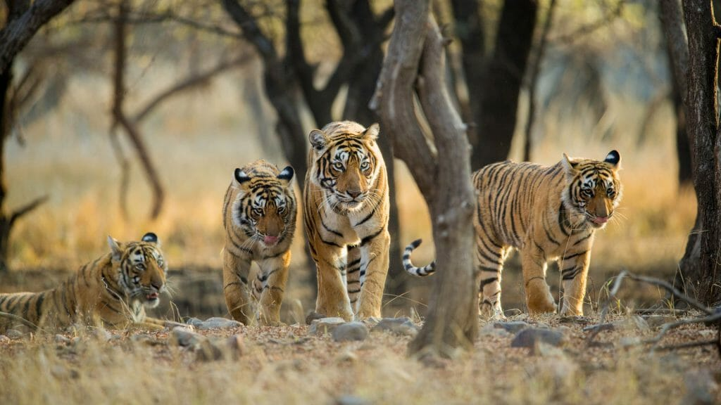 Ranthambhore National Park, Rajasthan, India