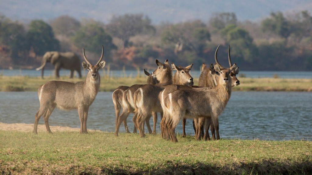 Waterbuck on island, Mana Pools, Zimbabwe
