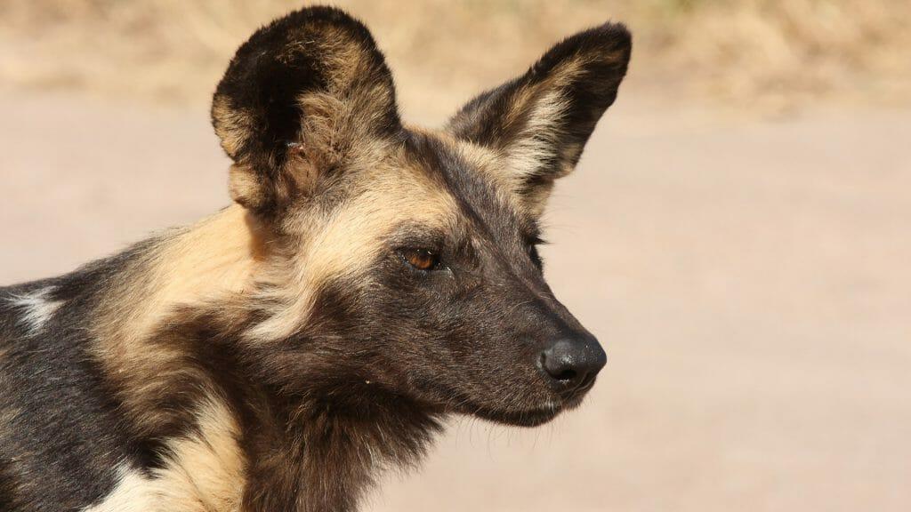 Wild dog, Selinda Reserve, Botswana