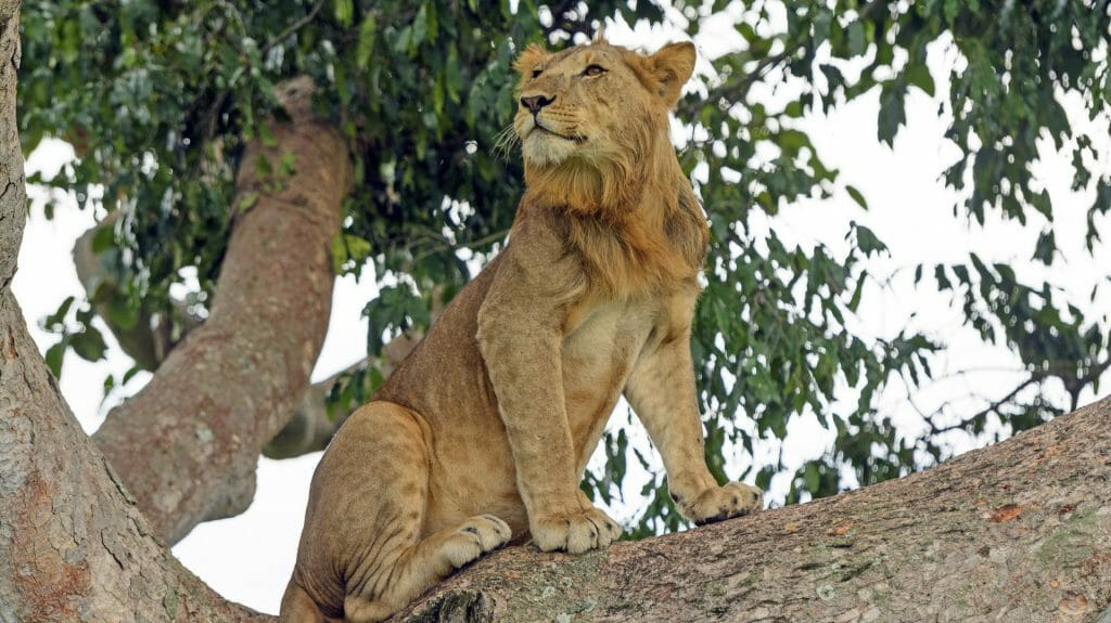 Young male lion in tree, Queen Elizabeth National Park, Uganda