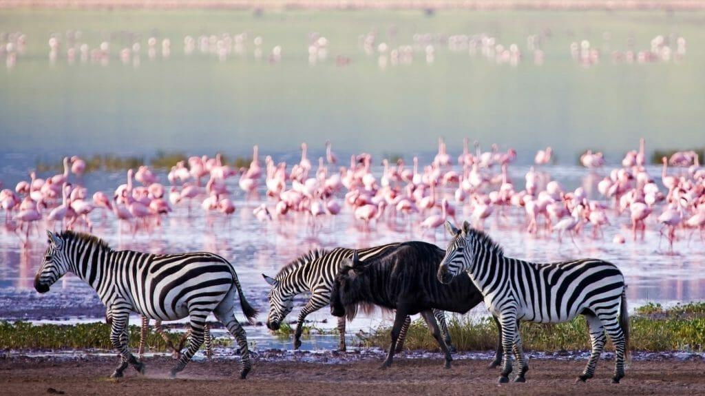 Zebras and a wildebeest walking beside the lake, Ngorongoro Crater, Tanzania