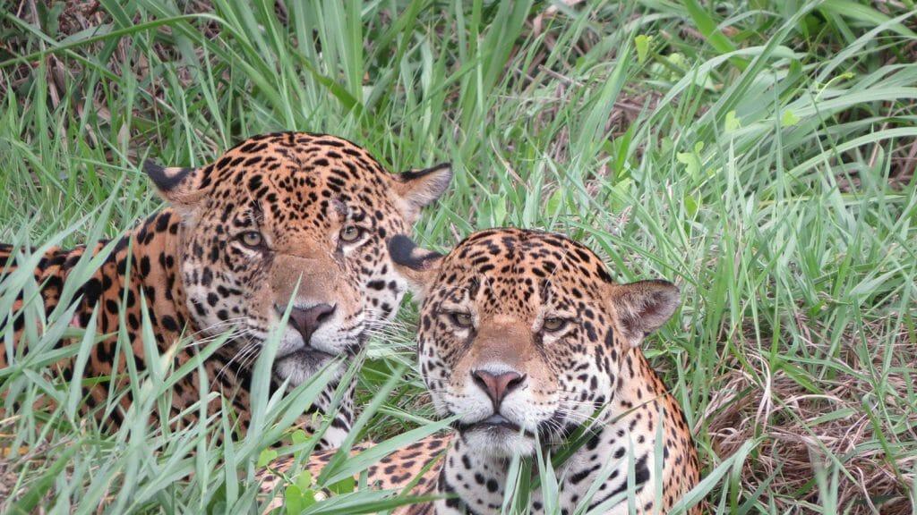 Jaguar Conservation Safari, Pantanal, Brazil