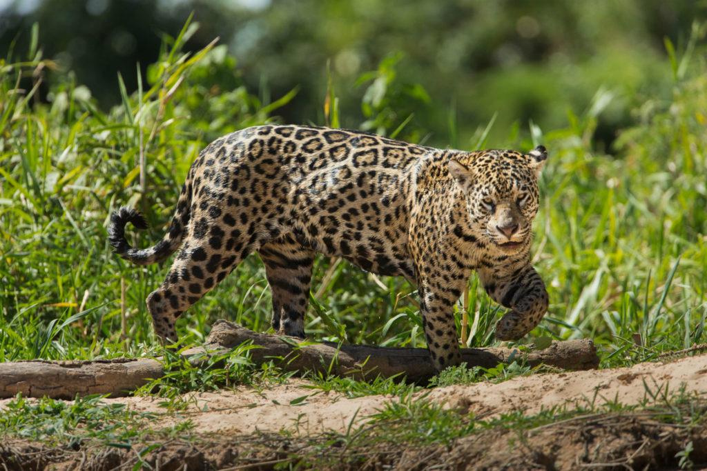 A jaguar, walking in the grass in the Pantanal region of Brazil