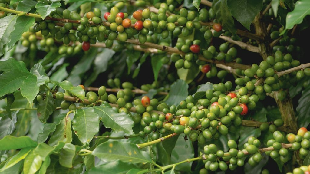Coffee Beans on Bush, Chiriqui, Panama