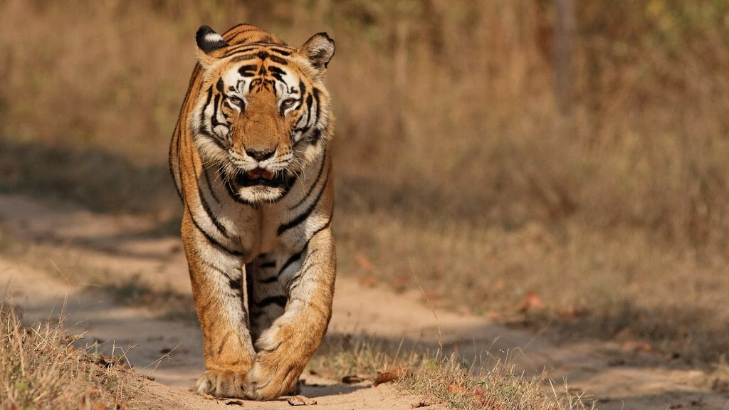 Dominant Male Tiger Munna from Kanha National Park