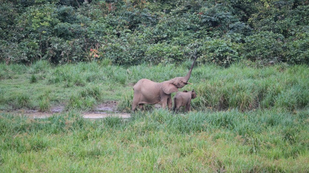 Forest Elephants, Langoue Bai, Ivindo National Park, Gabon