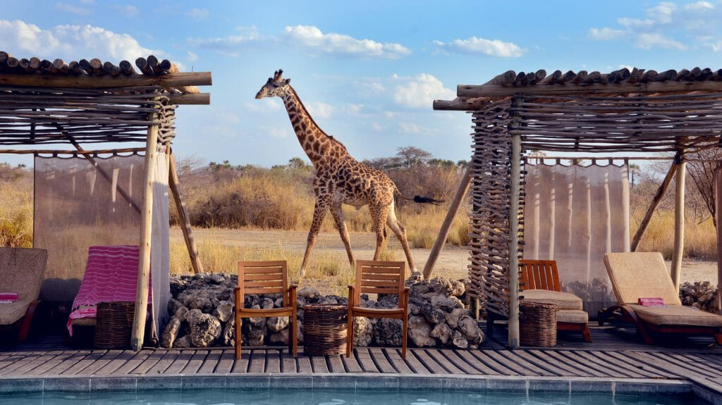 Giraffe behind swimming pool, Chem Chem, Tarangire National Park