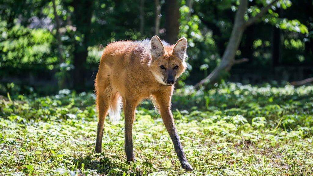 Maned wolf (Chysocyon brachyurus)
