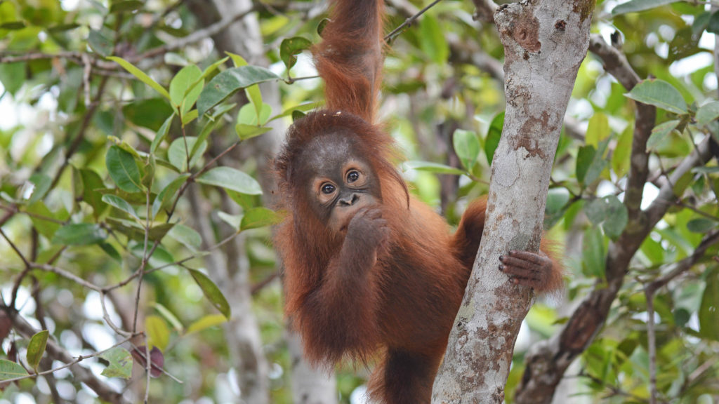 Mona the Orangutan, Indonesian Borneo