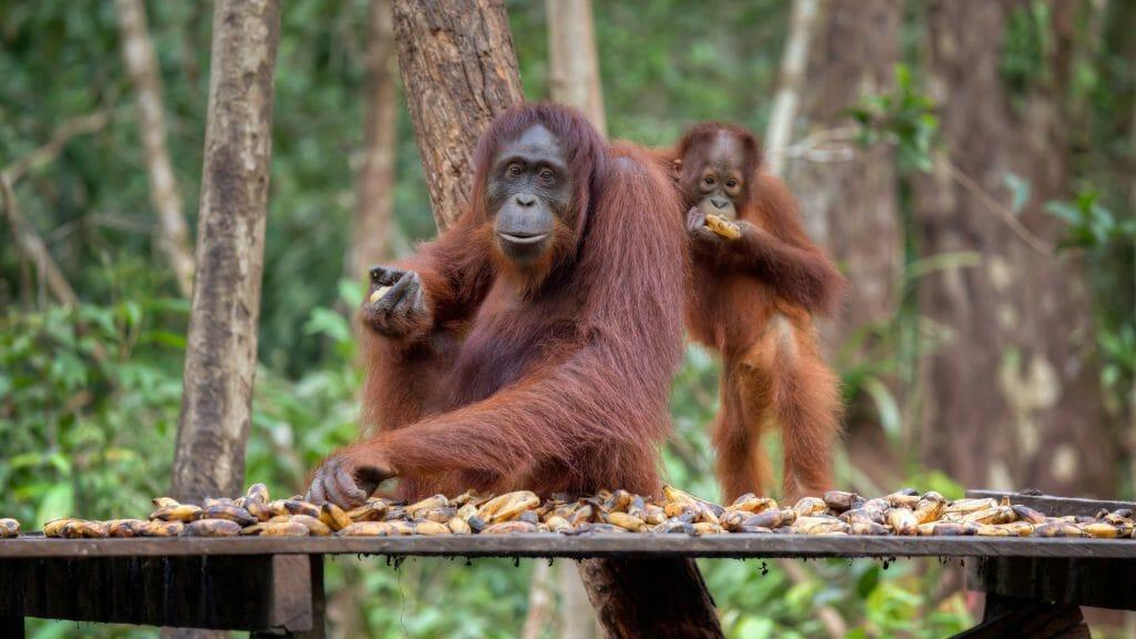 Orangutan, Camp Leakey, Borneo, Indonesia