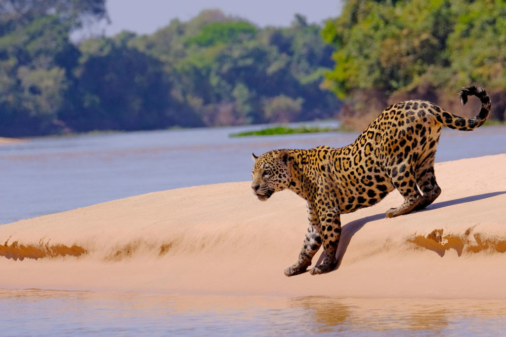 Jaguar, Pantanal, Brazil