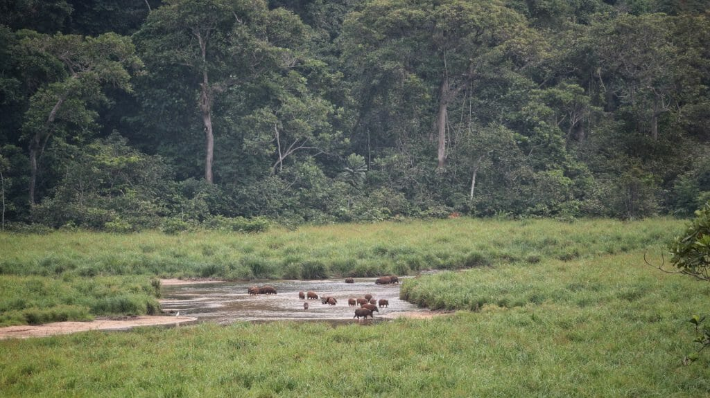 Red river hogs, Langoue Bai, Ivindo National Park, Gabon