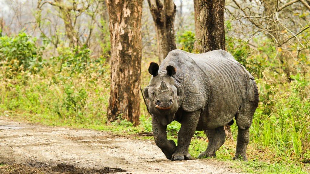 Rhinoceros, Kaziranga National Park, India