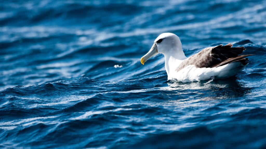Shy Albatross, Tasmania, Australia