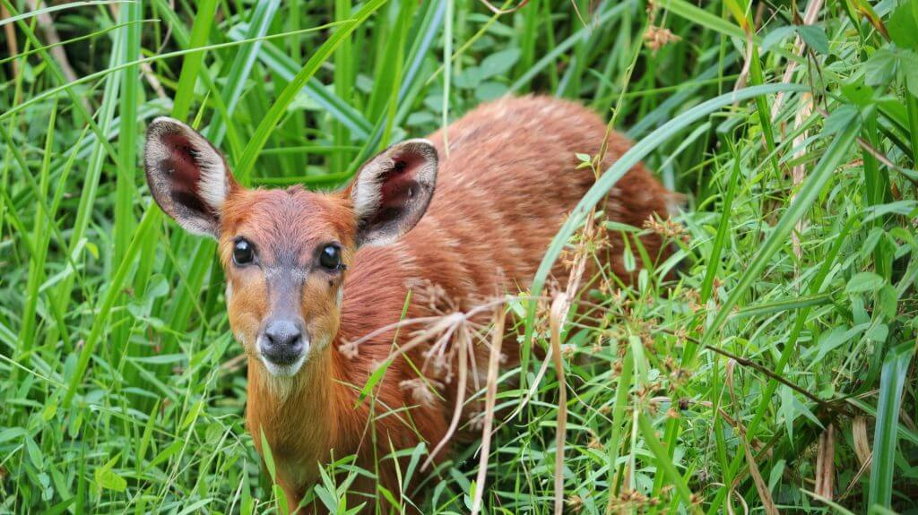 Sitatunga in Langoue Bai, Ivindo National Park, Gabon