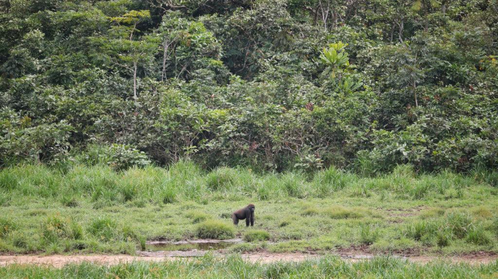 Western lowland gorilla, Langoue Bai, Ivindo National Park, Gabon