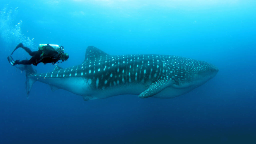 Whale Shark with Diver, Darwin and Wolf, Galapagos Islands