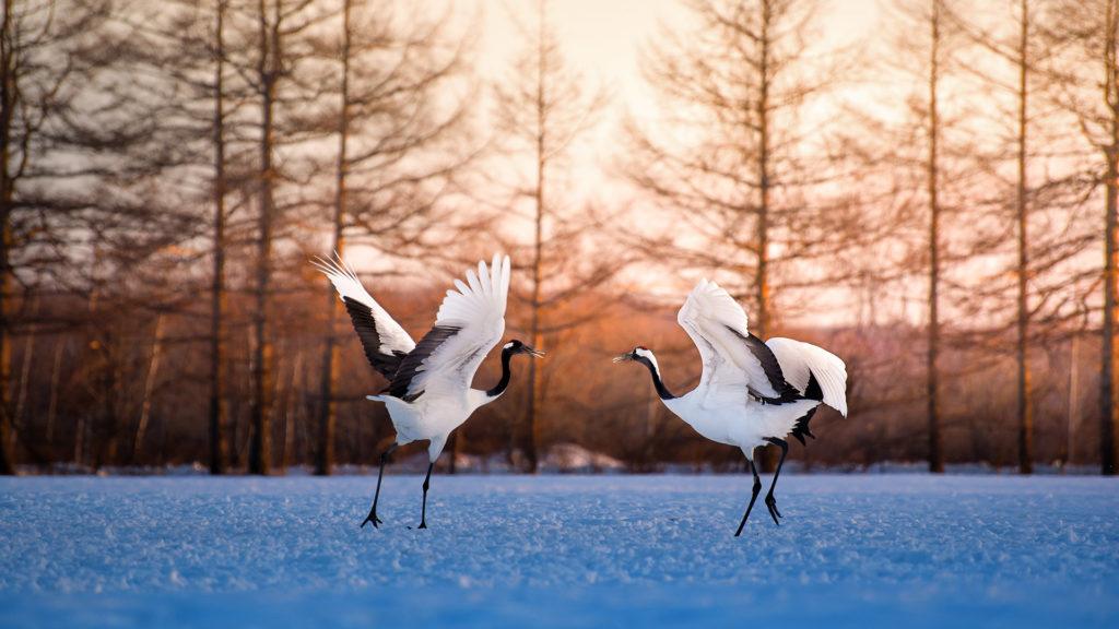 Red crowned crane, Kushiro, Hokkaido, Japan