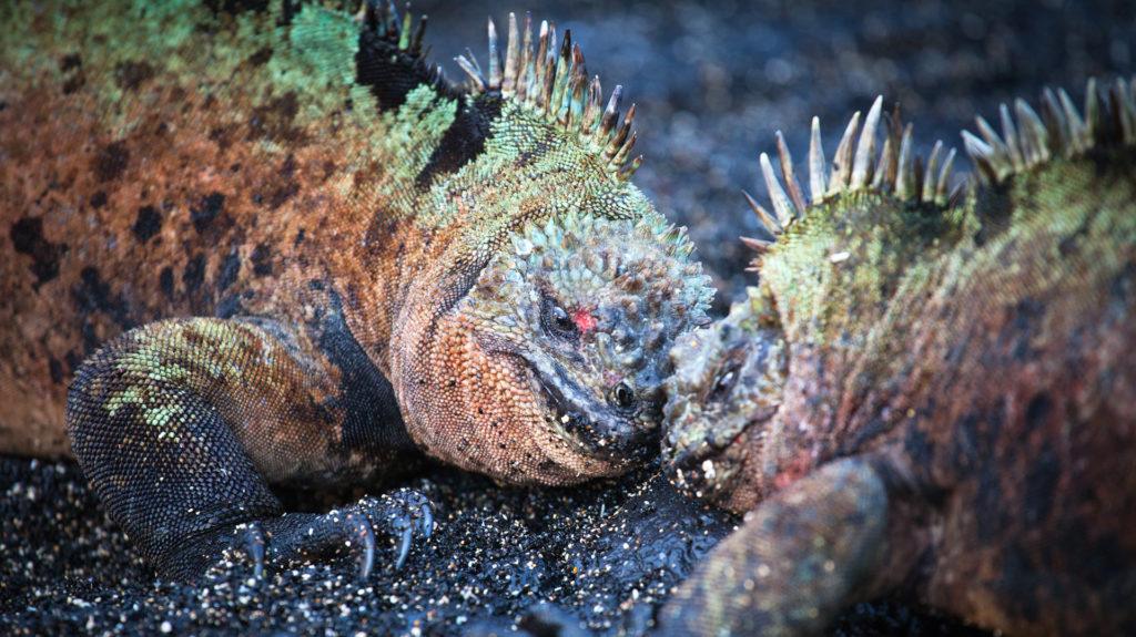 Battling marine iguanas, Galapagos