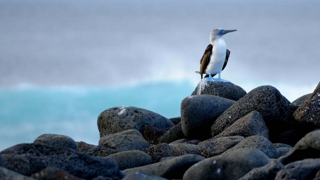 Blue footed booby at Galapagos Islands, Ecuador