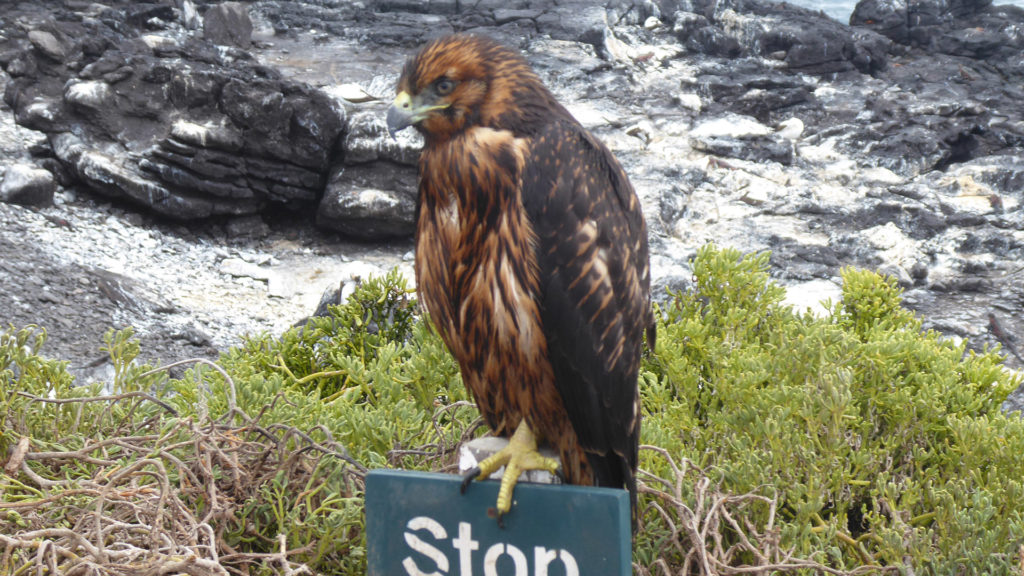 Galapagos hawk perched on a sign