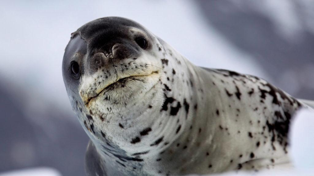 Leopard seal, Antarctica