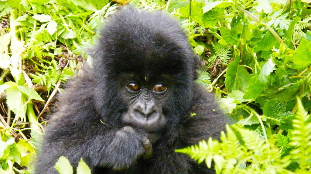 Gorilla baby eating