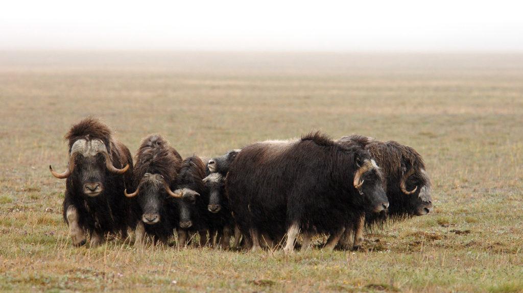 Musk Ox, Chukotka, Wrangel Island, Russian Arctic