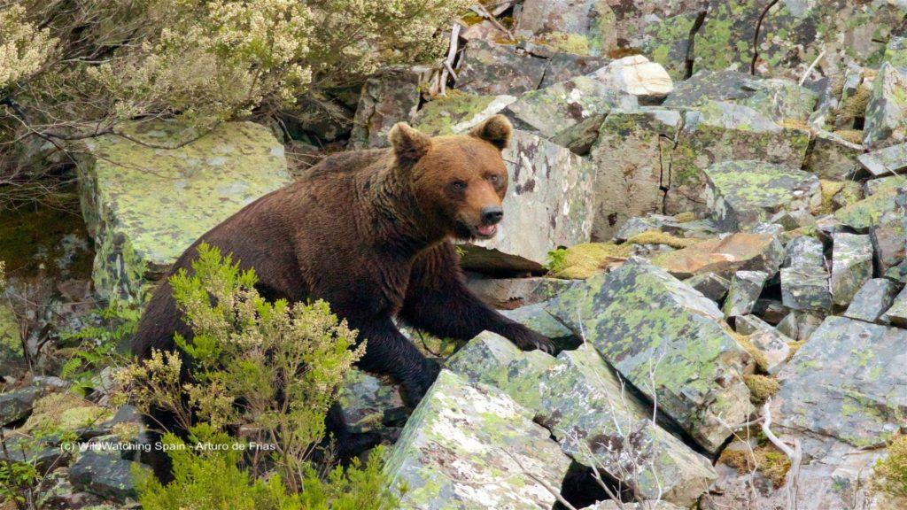 Bear, Cantabrian Mountains, Spain