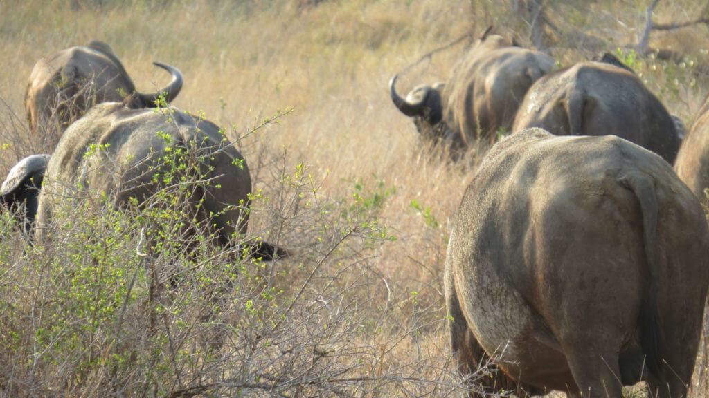 Buffalo, South Africa, Illona FAM 2013