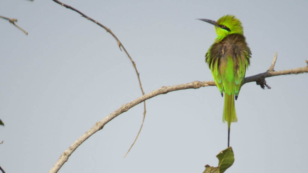 Little Green Bee Eater, Chad, Illona FAM 2016