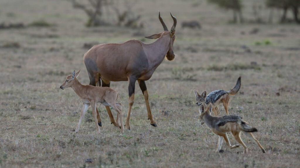 Jackals and topi, Masai Mara, Kenya