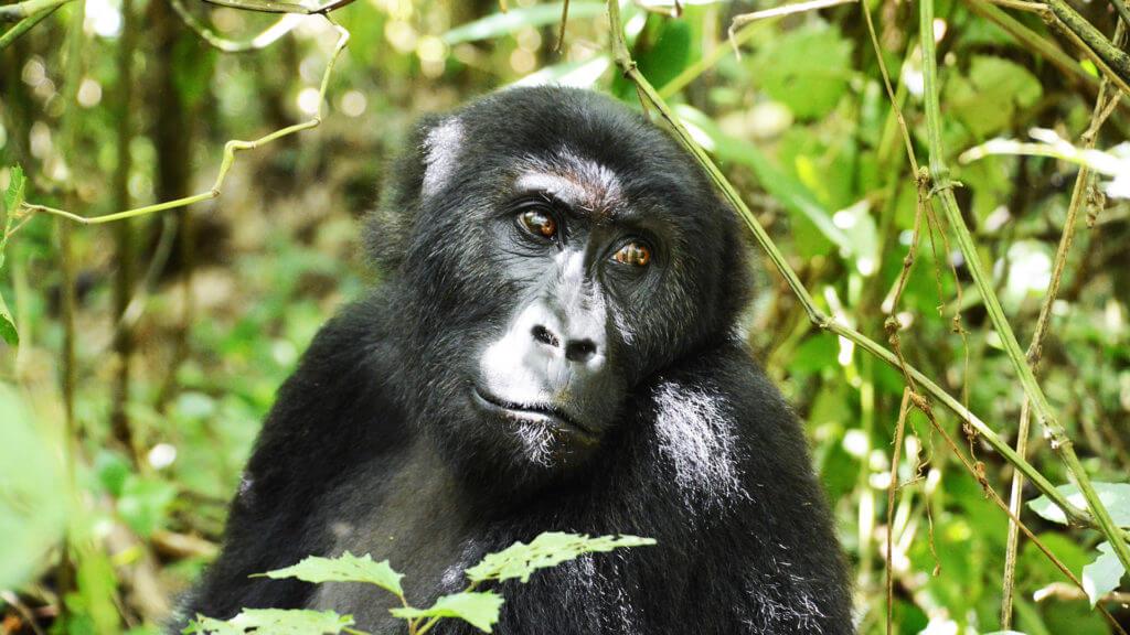 Client Nicky Dunnington Jefferson close up of gorilla