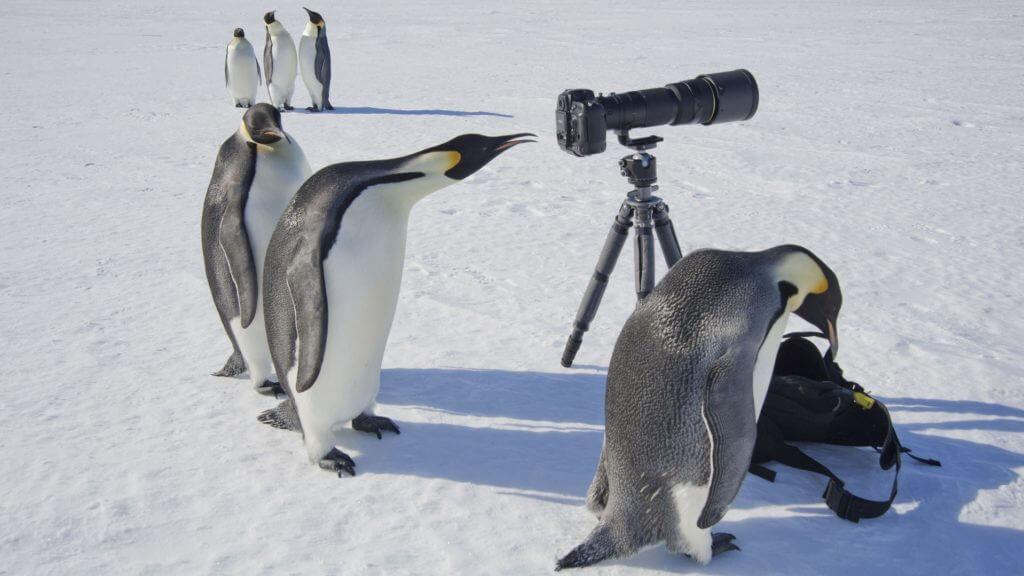 Emperor Penguins with Camera Equipment, Snow Hill, Antarctica