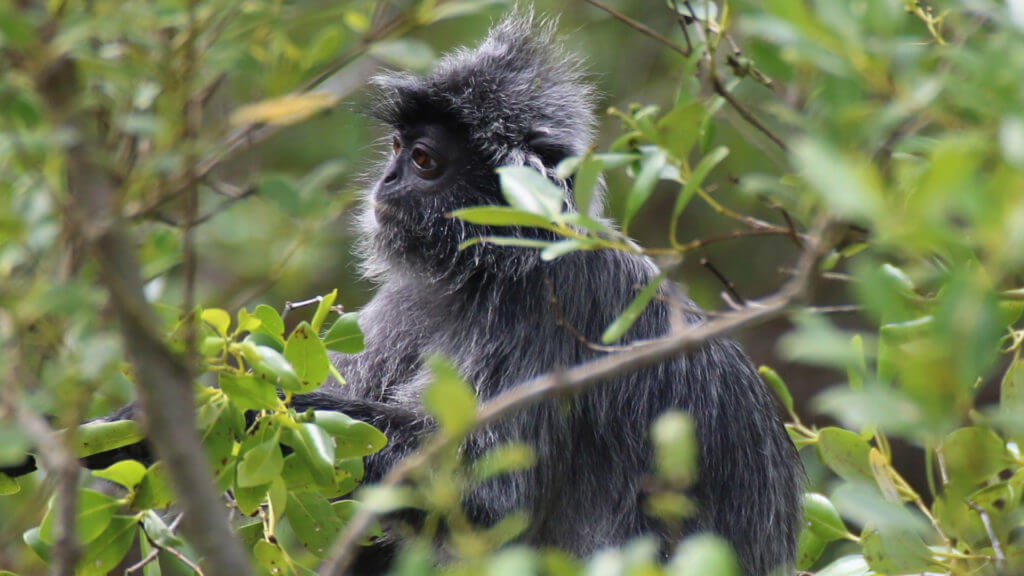 Silver Leaf Monkey in Bako National Park, Sarawak, Malaysia