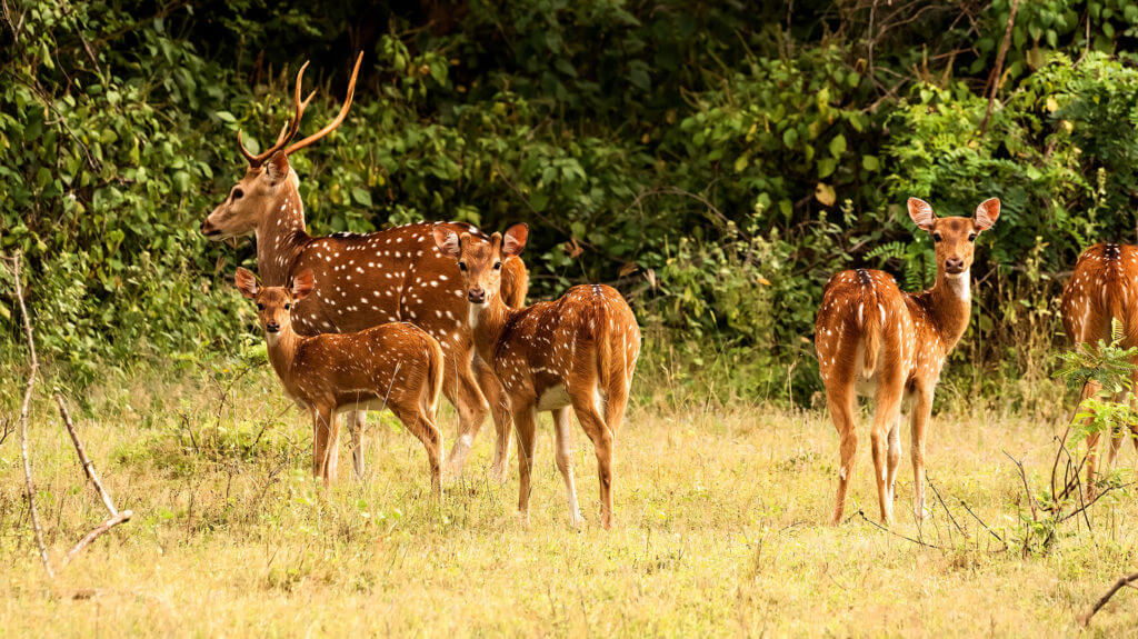 Deer, Yala National Park, Sri Lanka