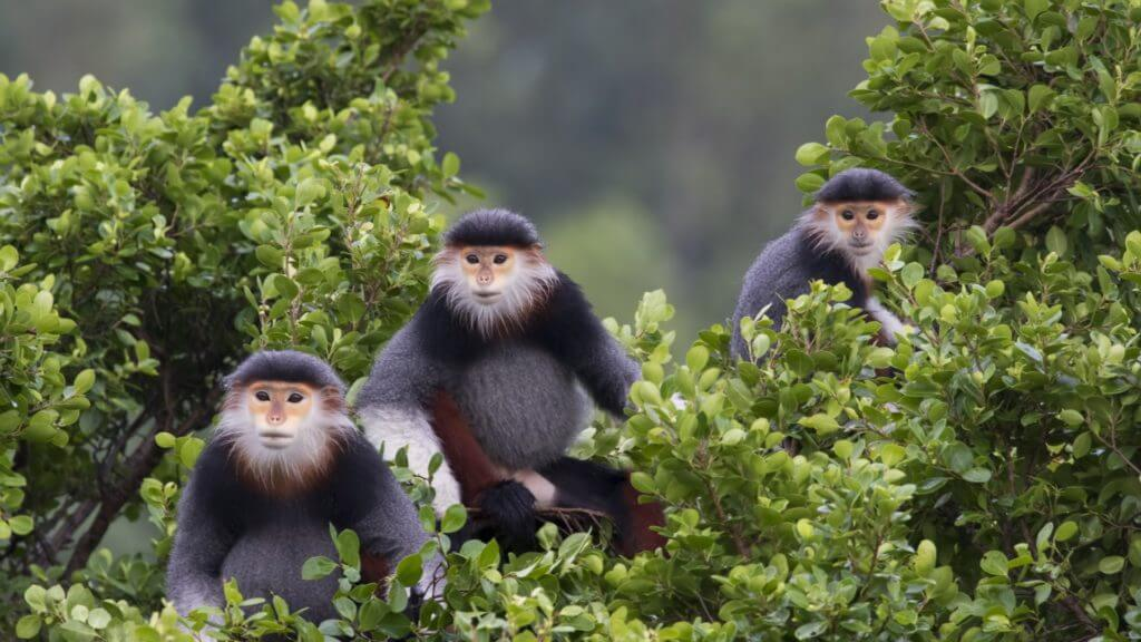 Three grey and white red shanked douc monkeys say in tree tops looking towards camera.