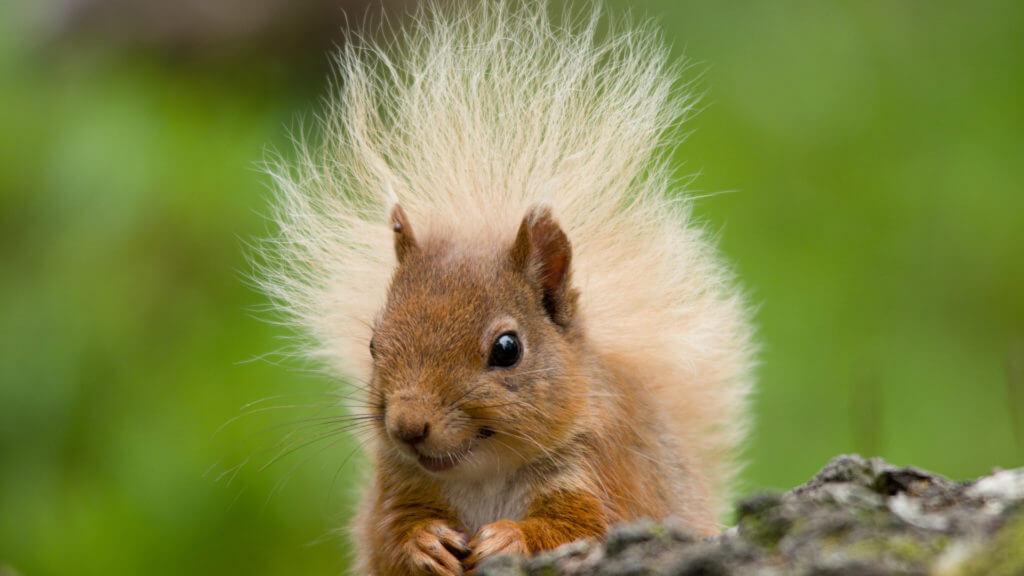 Red Squirrel, Scotland, United Kingdom