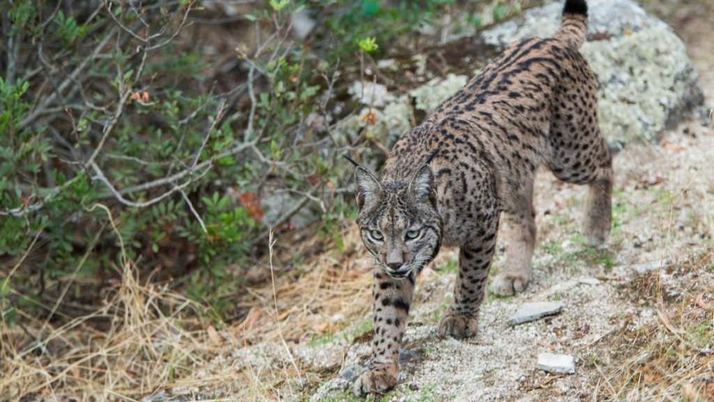Iberian lynx, spotted brown and black cat walking along rocks.