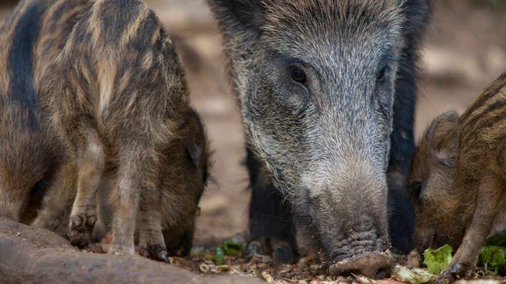 Close up of long snout of mother wild boar face with spotted piglets alongside.