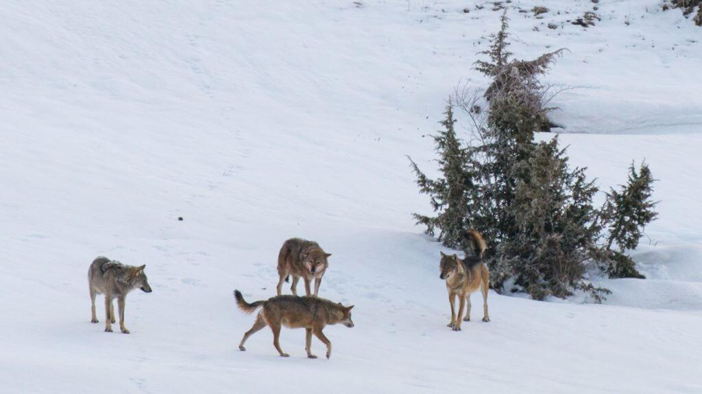 Four wolves on snow covered hillside.