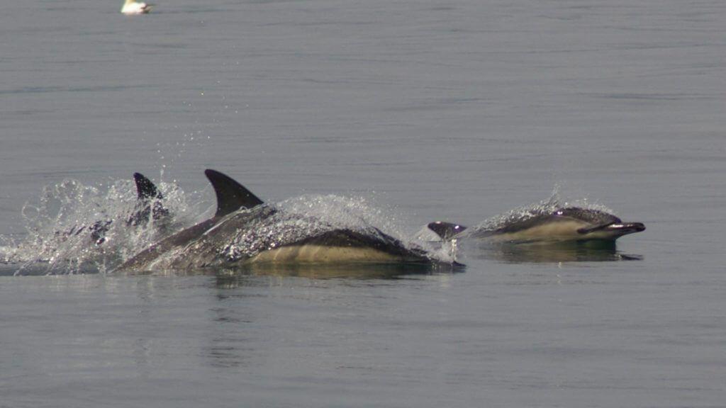 Dolphins, Scotland